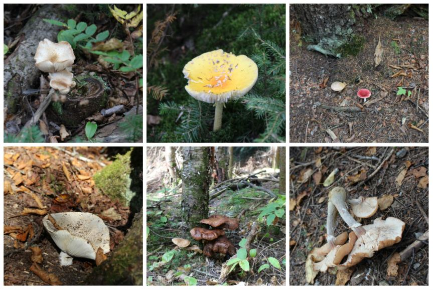 Mauricie 24 septembre collage champignons